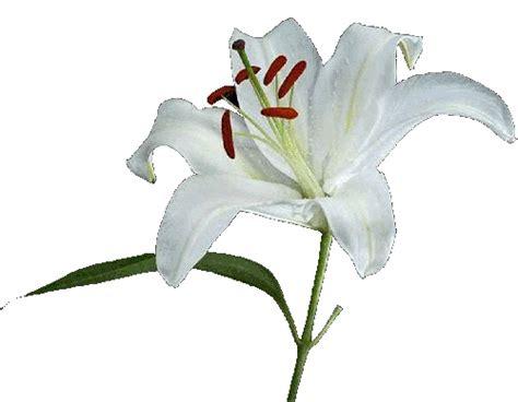 il giglio fiore flora e fiori cancello ed arnone news