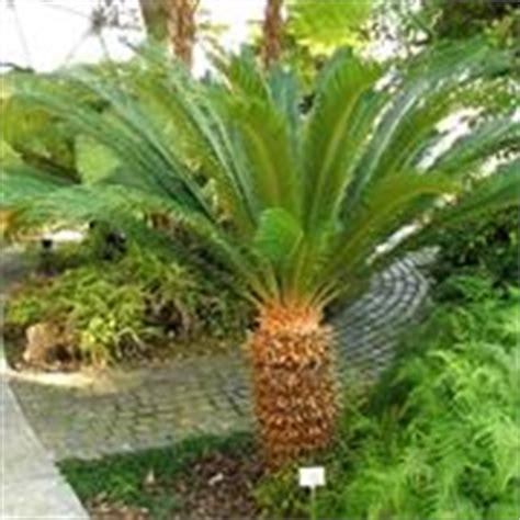 palme nane da giardino palme nane piante da giardino caratteristiche delle