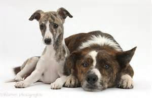 ... -and-white Whippet pup, Cassie , 9 weeks old, with mongrel dog, Brec Dog