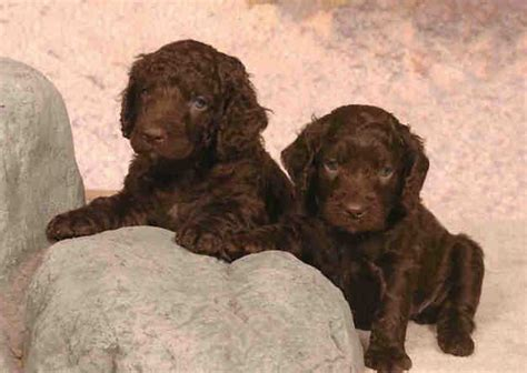 american water spaniel puppies getting an aws
