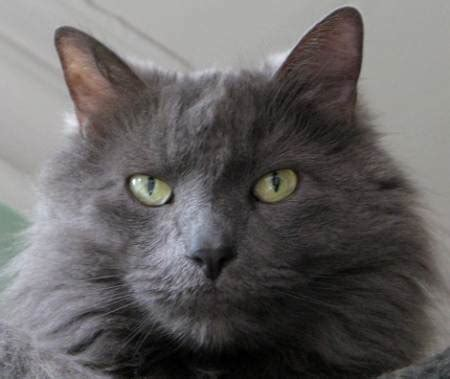 Nebelung Cat Breed Pictures   Fimho