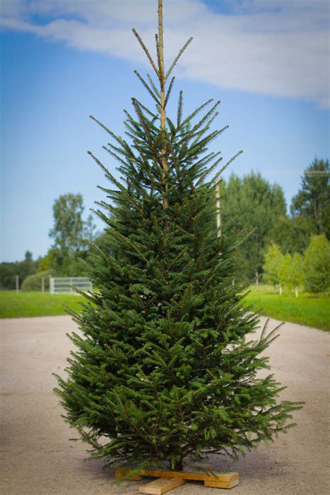 pruning christmas trees estplant the producer of trees in the baltic countries