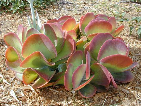 paddle plant kalanchoe thrysiflora succulents pinterest