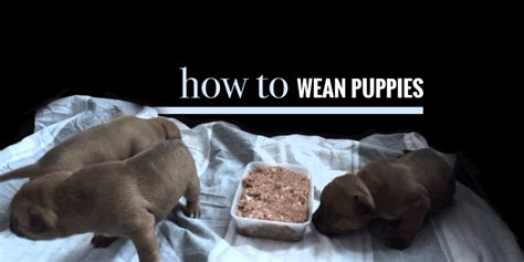 when do puppies start weaning puppies when do puppies start solid foods