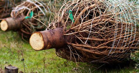 cut your own christmas tree albany ny albany ny tree farms choose and cut your own tree
