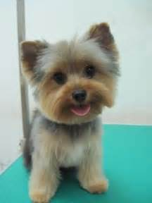 yorkie teddy haircut happy puppys and little dogs on pinterest