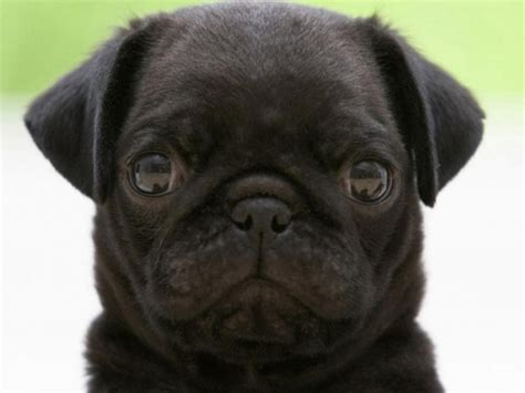 angry pugs 40 beautiful black pug dogs pictures and images