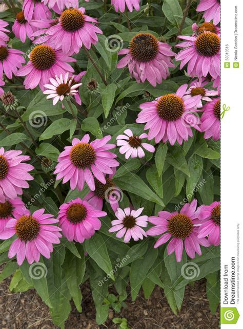 Gordyn Berry Pink echinacea powwow berry stock photo image 58318516