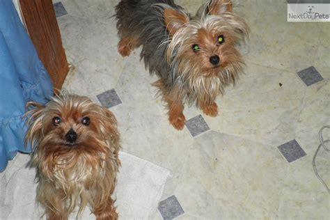 yorkies for sale in michigan terrier breeds for sale in michigan breeds picture