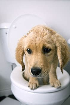 what to do when puppy has diarrhea what to do for diarrhea