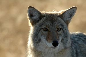geocaching and coyotes: simply part of the game
