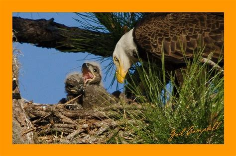 southwest florida eagle cam southwest florida eagle cam ozzie and harriett s family