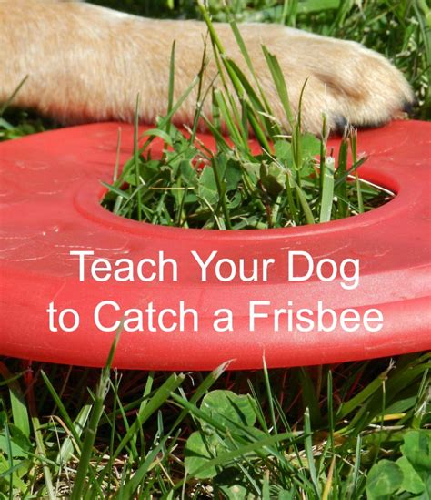 how to to catch frisbee tips how to teach your to catch a frisbee