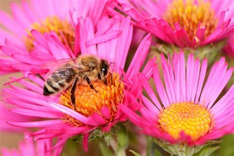 fiori e api api dimezzate dalle politiche sui biocombustili danni