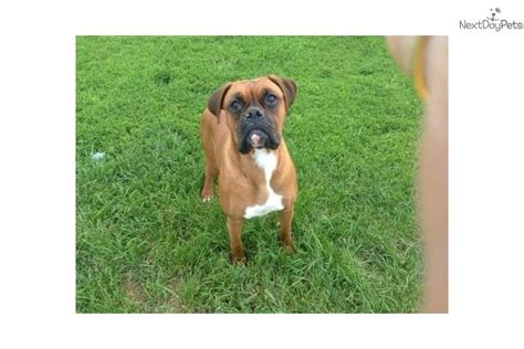 boxer puppies for sale near me fawn akc boxer puppy for sale near green bay wisconsin 21082b75 7bf1