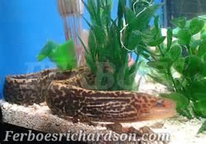Cacing Cilacap tiger eel namanya bule asal dari cilacap ferboes