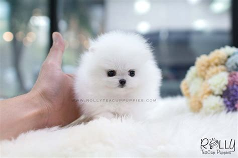 lulu pomeranian sold to baumgardner lulu pomeranian f rolly teacup puppies