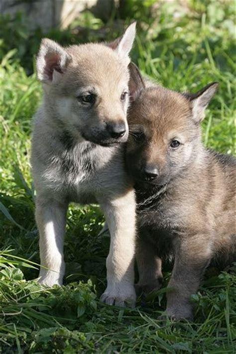 czechoslovakian wolfdog puppies czechoslovakian wolfdog puppies czechoslovakian wolfdogs pinter