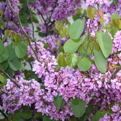 cercis canadensis standard