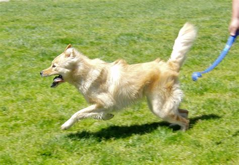 golden retriever wolf mix golden retriever wolf hybrid quotes