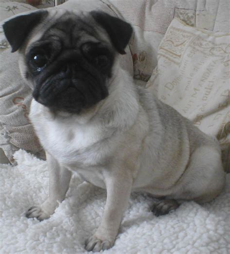 pugs adoption peggy the pug welfare rescue association