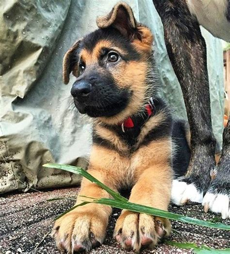 How To Detox Melts In A Puppy by The 25 Best German Shepherd Dogs Ideas On