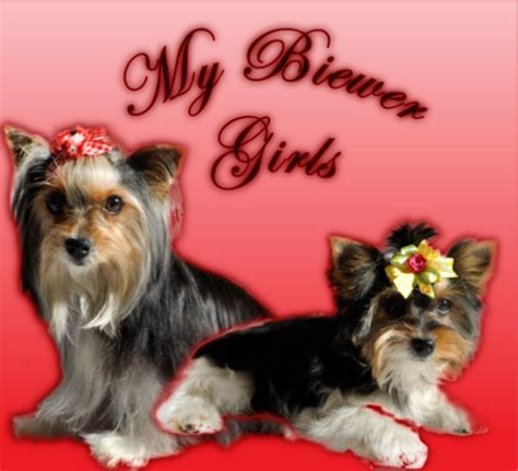 yorkies south africa mealanie breeder of yorkies and biewers in south africa yorkie puppies