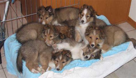 sheltie puppies for adoption mid arizona shetland sheepdog rescue