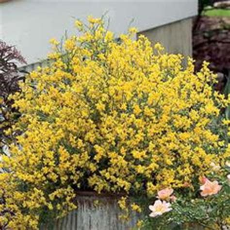 low growing flowering shrubs 1000 images about low growing shrubs on