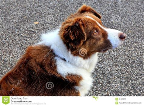 Brown And White Border Collie Sheepdog Stock Photo   Image