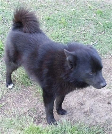 schipperke pomeranian mix schip a pom breed information and pictures