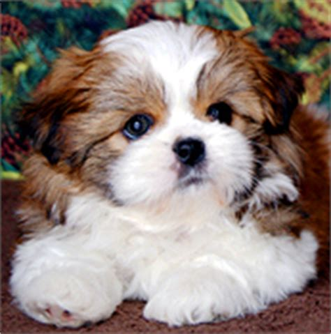 shih tzu breeders indiana shih tzu puppies for sale in indiana by chicago illinois area breeder