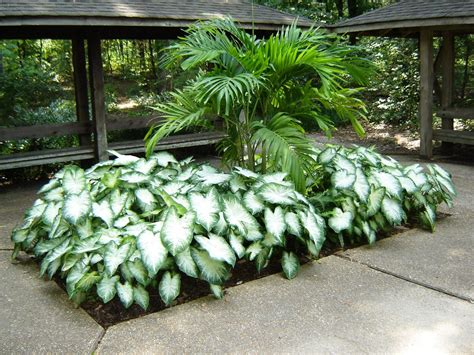 caladium landscaping ideas image mag