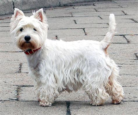 white terrier puppy west highland white terrier