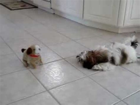 shih tzu barking maltese barking and with spider fu doovi