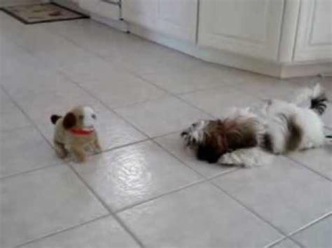 a shih tzu barking maltese barking and with spider fu doovi