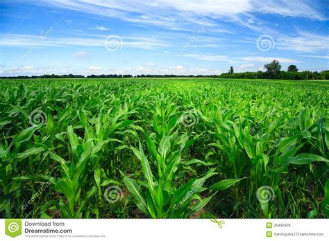 green food field a royalty free stock photo from photocase green corn field stock image image of grass nobody