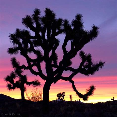 amazing joshua tree photos james kaiser