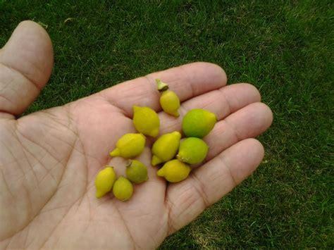 limone in vaso cure consigli per agrumi pi 249 forti le cure indispensabili per