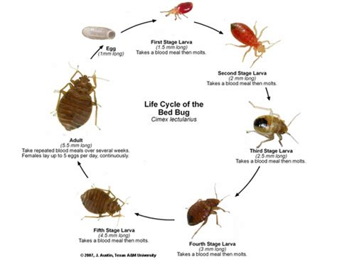 bed bugs life cycle bed bugs symptoms bites prevention treatment and removal