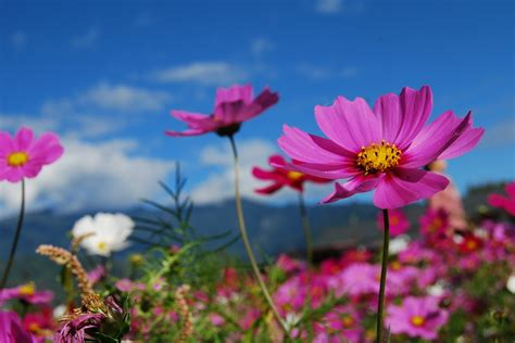 image for flowers free photo flower cosmos blue sky purple free image