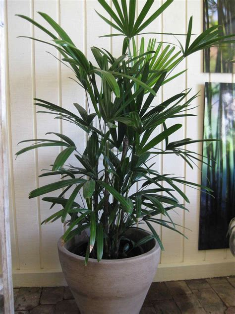 best indoor house plant best tall indoor house plants