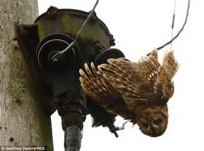 tawny owl electrocuted after landing on wire in dunsden