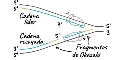 cadenas de adn complementarias las dos cadenas antiparalelas y complementarias adoptan en