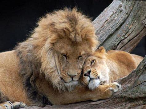 leones enamorados animales pinterest lions