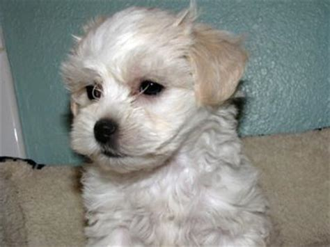 shih tzu cross maltese puppies is a maltese shih tzu mix the right for you