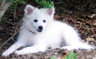 American Eskimo Dogs Breeds Photos and Videos | List of ...