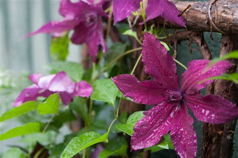 3 easy ways to plant clematis with pictures wikihow 3 ways to prune your clematis