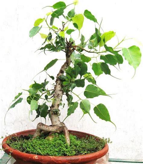 ficus religiosa peepal bonsai home in my balcony n