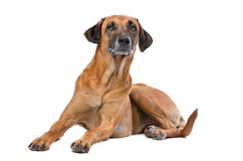 rhodesian ridgeback puppy cost rhodesian ridgeback price everything you need to
